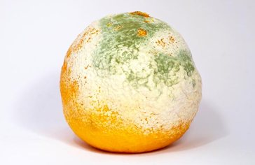 Orange-Mold-And-Penicillin